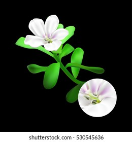 Bacopa monnieri plant on black background. Brahmi or waterhyssop, thyme-leafed gratiola, water hyssop, herb of grace, Indian pennywort. Medicinal plant. Realistic illustration.
