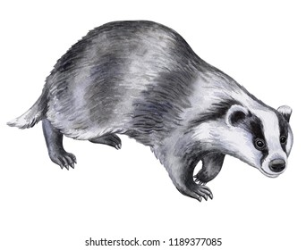 Badger animal isolated on white background. Watercolor. Illustration. Template. Picture. Hand drawn, close-up