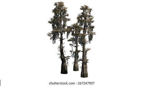 Bald Cypress cluster - isolated on white background