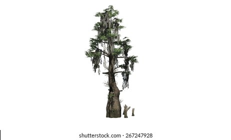 Bald Cypress - isolated on white background