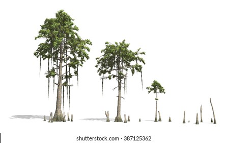 Bald Cypress tress render on white background.