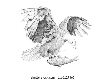 BALD EAGLE CATCHING SALMON SKETCH / PENCIL DRAWING