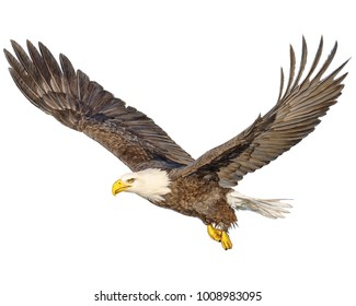 Bald eagle flying hand draw and paint color on white background illustration.