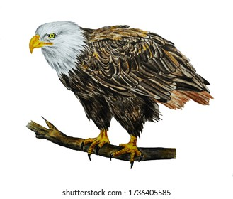 Bald Eagle. The white head of an eagle is isolated on a white background. Bird. Watercolor. Illustration.
