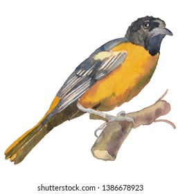 The Baltimore oriole. Hand painted, isolated on white background watercolor drawing of bird.