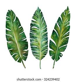 Banana leaves watercolor  plant botanic painting on white background, vector illustration