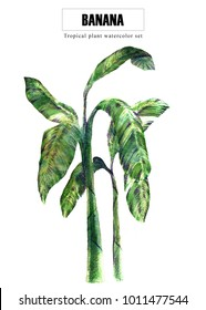 Banana tree   watercolor illustration painting with clipping path