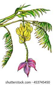 Botanical Banana Images Stock Photos Vectors Shutterstock