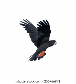 Banks' Black Cockatoo (Red-Tailed Cockatoo) in flight