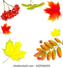 Banner with maple autumn leaves and rowan branches with ashberry . Autumn maple leaf and red rowan branches with ashberry isolated on a white background.