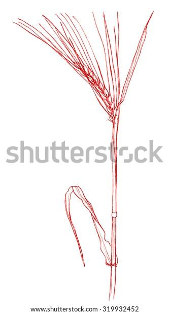 Barley plant - crayon drawing