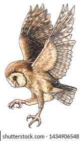 A barn owl. Illustration isolated on white.