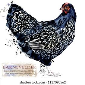 Barnevelder hen. Poultry farming. Chicken breeds series. domestic farm bird watercolor illustration.