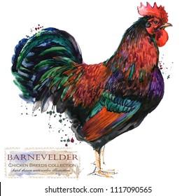 Barnevelder Rooster. Poultry farming. Chicken breeds series. domestic farm bird watercolor illustration.
