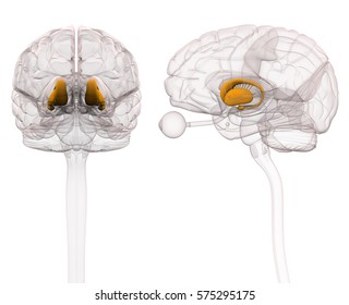 Basal Ganglia - Anatomy Brain - 3d illustration