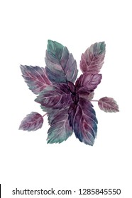 Basil isolated. Colorful illustration, greeting card wiht a plant. Realistic botanical drawing of purle and green basil close up, made in watercolor on white background.