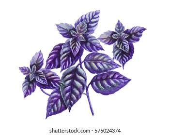 Basil isolated on white. Botanical illustration, watercolor