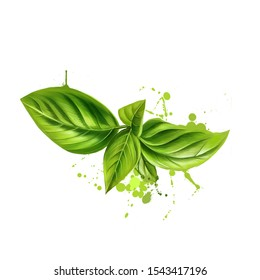 Basil leaves graphic illustration. Basil or Ocimum basilicum, also called great basil or Saint-Joseph's-wort. Culinary herb of family Lamiaceae mints. King of herbs. Royal herb. Digital art greens