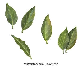 Bay Leaves Pencil Drawing Isolated on White