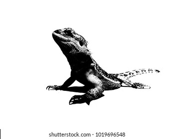 Bearded Dragon Lizard Stock Illustrations Images Vectors