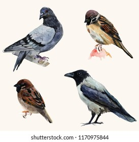 Beautiful birds, hand-drawn watercolor illustration. Pigeon, sparrow and grey crow.