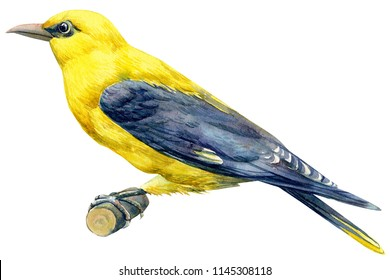 beautiful blue bird on isolated white background, American Goldfinch. watercolor illustration
