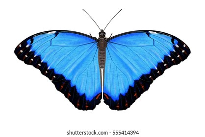 A beautiful Blue Morpho butterfly (Morpho peleides) illustrated by Steven Russell Smith.
