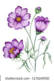 Beautiful botanic illustration (purple cosmos flower on stem with leaves).  Flowers isolated on white background. Watercolor painting. Hand painted image.