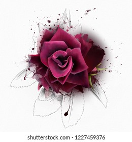 Beautiful Burgundy rose in the freshness of early morning on a white background, with an element of the sketch