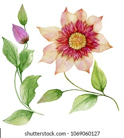 Beautiful clematis on a stem. Floral set (flower, leaves on climbing twig, boll). Isolated on white background. Watercolor painting. Hand painted botanical illustration.