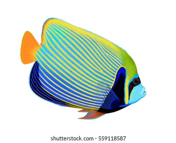 A beautiful Emperor angelfish (Pomacanthus imperator) illustrated by Steven Russell Smith isolated on a white background.