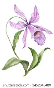 Beautiful exotic orchid flowers (Laelia) on white background. Flowers isolated on white background. Watercolor painting. Hand painted botanical illustration. Design of fabric, wallpaper.