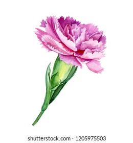 beautiful flowers on white background, pink carnation, watercolor illustration, botanical painting, hand drawing, greeting card
