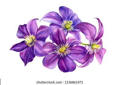 beautiful flowers, purple clematis on a white background, watercolor illustration, flora design, botanical painting