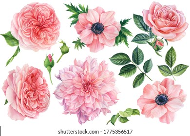 Beautiful flowers. Set of botanical drawings on a white isolated background. Watercolor pink anemones, roses, dahlias