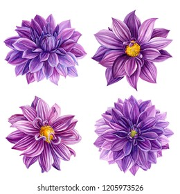 beautiful flowers set on white background, purple dahlia, watercolor illustration, botanical painting, hand drawing, greeting card