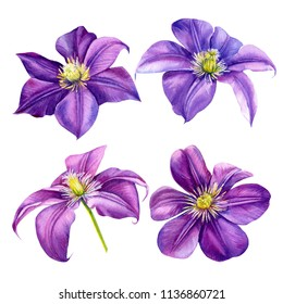 beautiful flowers, set purple clematis on a white background, watercolor illustration, flora design, botanical painting