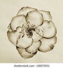 beautiful hand drawn wild rose pencil sketch in brown sepia color tone style for vintage retro look