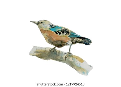 Beautiful Nuthatch bird drawing with watercolor.