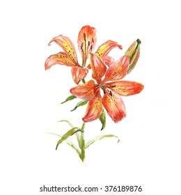 Beautiful orange Lily. Watercolor illustration.