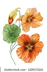 Beautiful orange nasturtium flower (nose-twister) on a green stem with leaves. Isolated on white background. Watercolor painting. Hand painted floral illustration.