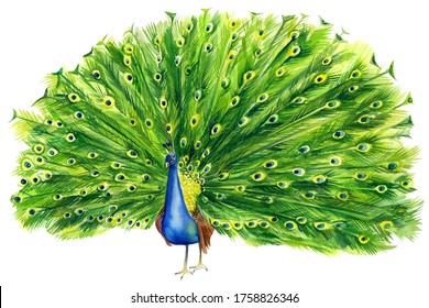 beautiful peacock drawing on an isolated white background, beautiful watercolor bird, hand drawing