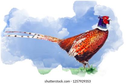 Beautiful Pheasant bird water color drawing