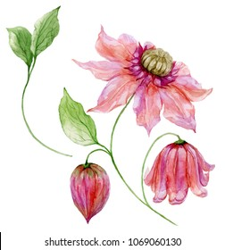 Beautiful pink clematis on a stem. Floral set (flower, leaves on climbing twig, boll). Isolated on white background. Watercolor painting. Hand painted botanical illustration.