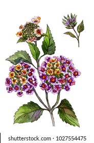 Beautiful pink flowers on a stem. Floral set (lantana flowers, leaves, buds). Isolated on white background. Watercolor painting. Hand drawn illustration.
