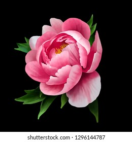 Beautiful pink peony close up on the black background