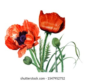 Beautiful poppies flowers and green leaves hand drawn in watercolor on a white background.  Botanical illustration.