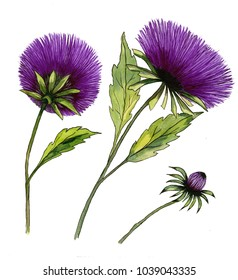 Beautiful purple aster flower on a stem with green leaves. Set of two flowers and a bud isolated on white background. Watercolor painting. Hand drawn illustration. Side and back view.
