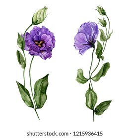 Beautiful purple eustoma flower (lisianthus) in full bloom on green stem with leaves and closed buds. Botanical set isolated on white background. Watercolor painting. Hand painted floral illustration.