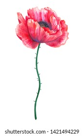 Beautiful red flower poppy. Hand drawn watercolor illustration. Isolated on white background.
